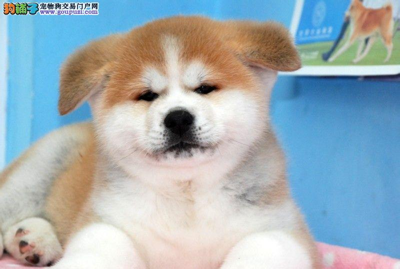 精品日系秋田幼犬出售,保证健康纯种,在乎品质的来