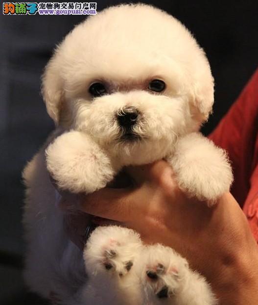 顶级大眼睛甜美脸型小体大毛量纽扣眼棉花糖比熊幼犬2