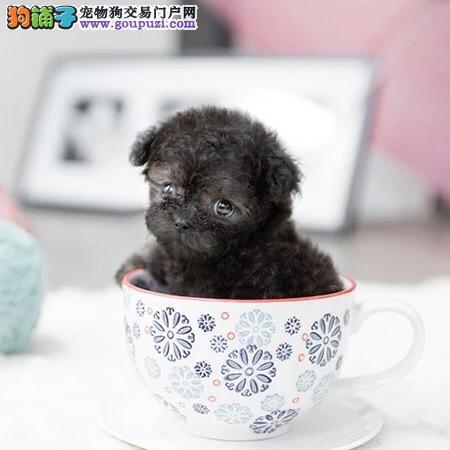 赛级精品茶杯幼犬出售,保证健康纯种。在乎品质的来
