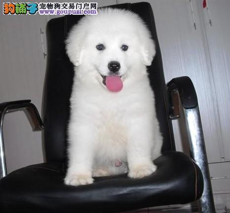 赛级精品大白熊幼犬出售,保证健康纯种,在乎品质的来
