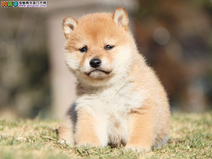 专业繁殖出售顶级纯种柴犬豆柴幼犬 保证纯种健康包活