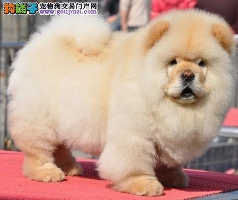 赛级精品松狮幼犬出售,保证健康纯种。在乎品质的来