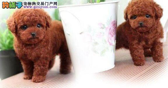 纯种博茶杯犬、视频看狗可送狗上门、包活签协议