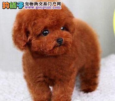 出售纯种韩系泰迪贵宾犬 保证健康签协议上门选购