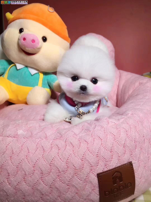 北京哪里卖博美犬 纯种博美犬价格1