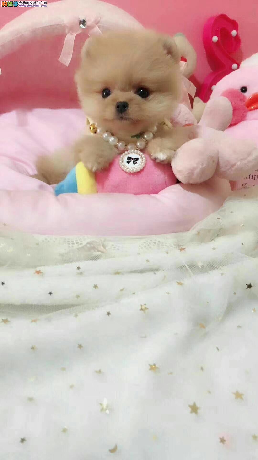 北京哪里卖博美犬 纯种博美犬价格2