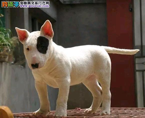 北京出售纯种牛头梗海盗眼子弹头牛头梗犬多少钱