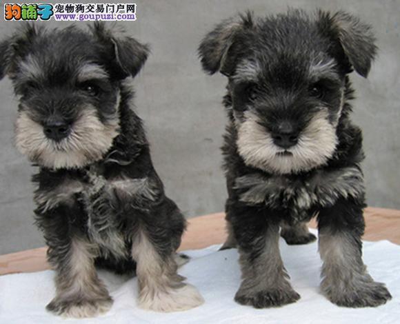 北京出售雪纳瑞犬幼犬老头狗迷你体雪纳瑞哪里买多少钱