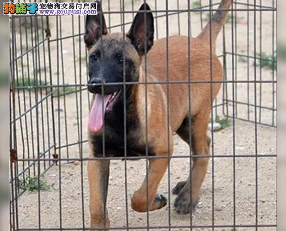 北京出售纯种马犬幼犬弹跳高撕咬狠斗狗护卫犬警犬