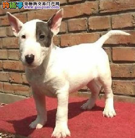 重庆哪里出售牛头梗海盗眼子弹头牛头梗幼犬多少钱一只