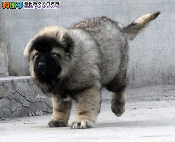 重庆哪里出售纯种高加索多少钱一只犬幼犬护卫犬猛犬