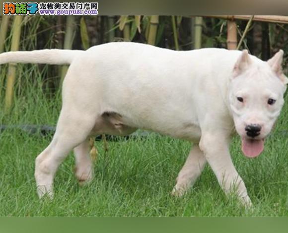 苏州出售纯种杜高犬护卫犬猛犬打猎犬杜高多少钱
