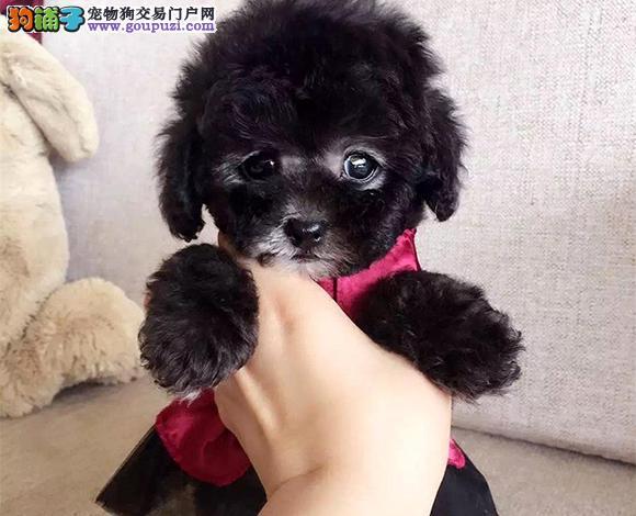 苏州出售纯种泰迪贵宾犬泰迪幼犬娃娃脸大眼睛茶杯犬