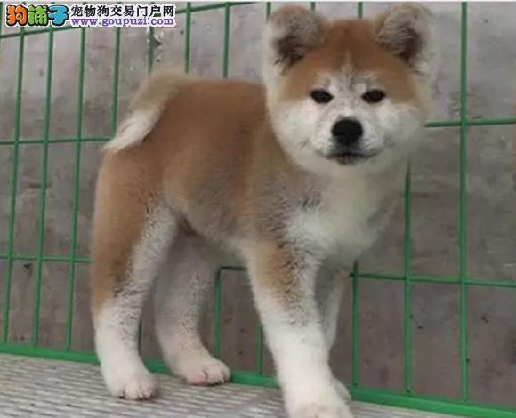 烟台出售纯种秋田犬日系秋田幼犬忠犬八公赛级秋田犬