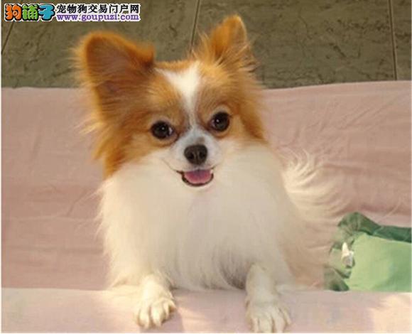 烟台出售纯种蝴蝶犬幼犬小体长毛立耳蝴蝶犬多少钱