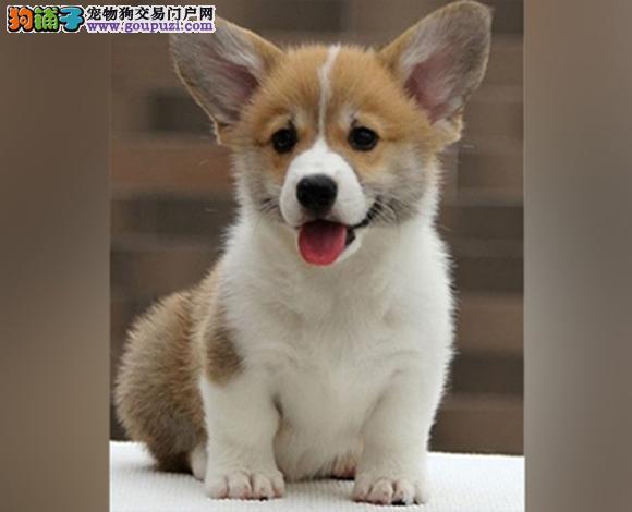 六安出售纯种柯基犬威尔士柯基幼犬小短腿柯基三色双色