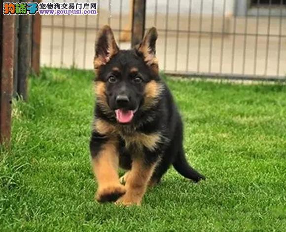 广州哪里出售德国牧羊犬德牧幼犬锤系德牧多少钱一只