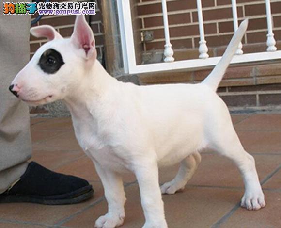 广州哪里出售牛头梗海盗眼子弹头牛头梗幼犬多少钱一只