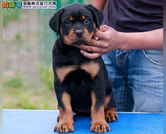 广州哪里出售罗威纳犬防暴犬护卫幼犬罗威纳多少钱一只