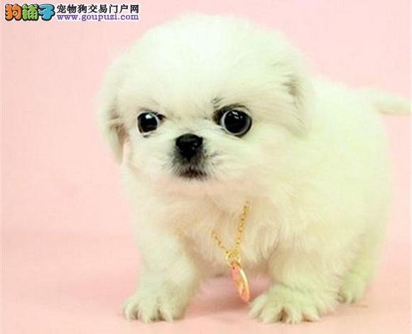 广州出售京巴犬幼犬哈巴狗高贵北京犬迷你京巴多少钱