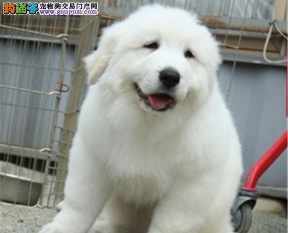 佛山哪里出售纯种大白熊犬幼犬多少钱一只图片视频