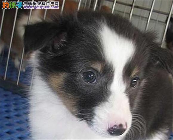 佛山哪里出售喜乐蒂犬幼犬多少钱一只 图片视频
