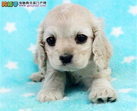 佛山哪里出售可卡犬英卡犬美卡幼犬多少钱一只