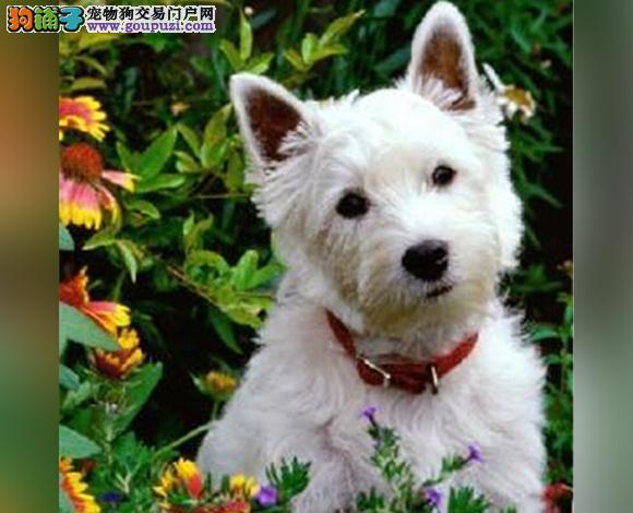 佛山哪里出售纯种西高地犬幼犬多少钱一只西高地梗