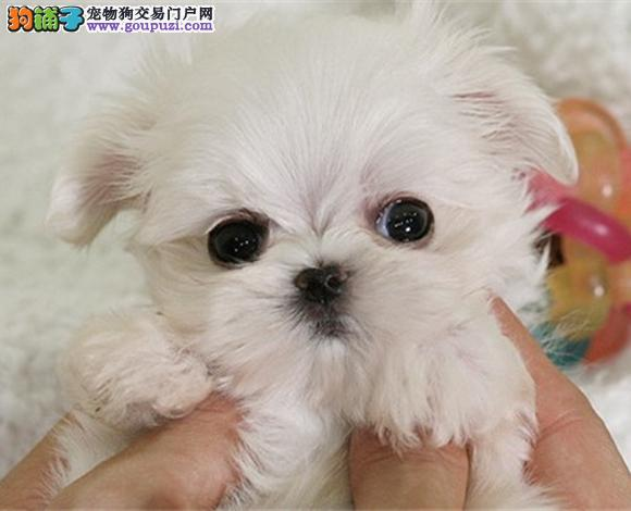 佛山哪里出售马尔济斯犬幼犬多少钱一只图片视频