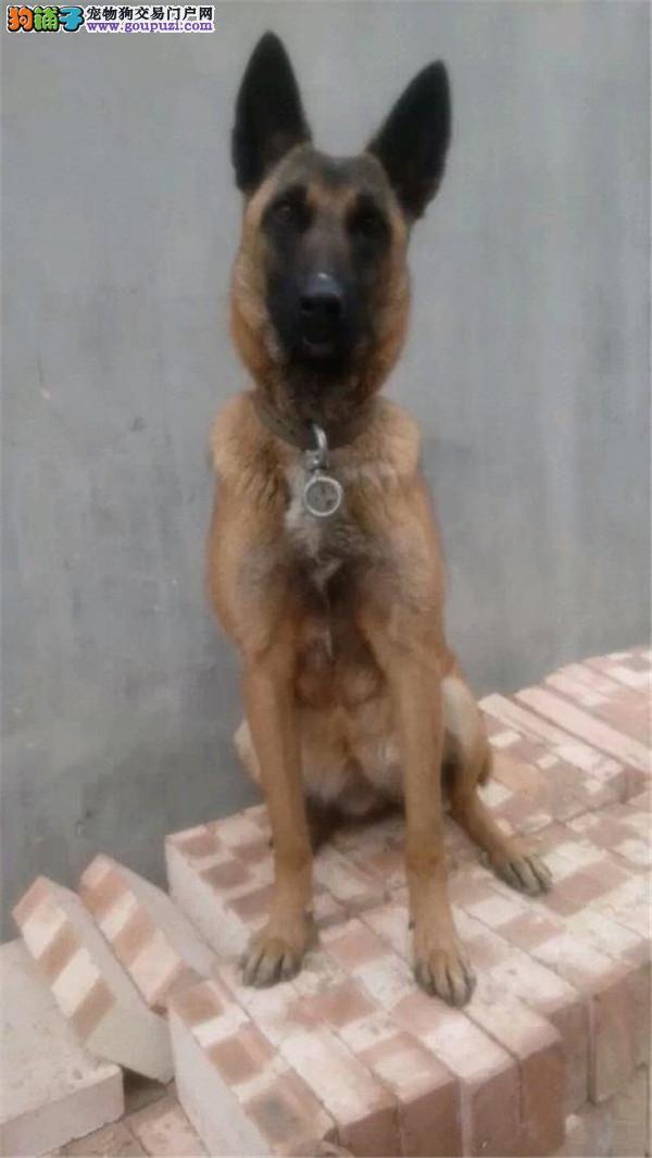 佛山哪里出售马犬多少钱一只幼犬弹跳高护卫犬警犬