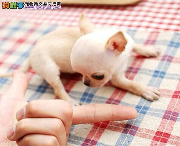 出售哪里出售吉娃娃幼犬大眼睛吉娃娃多少钱一只