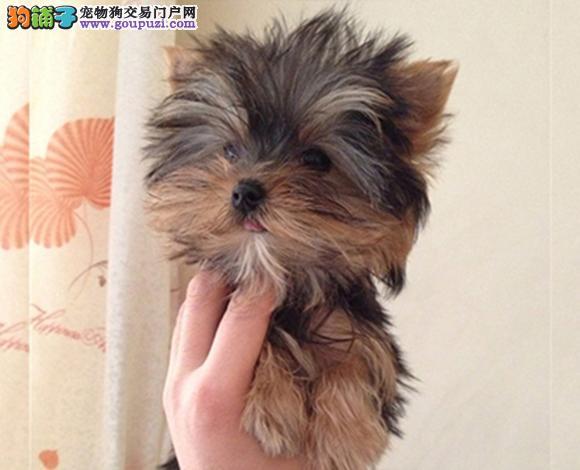 佛山哪里出售约克夏犬幼犬多少钱一只 约克夏图片视频