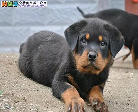 佛山哪里出售罗威纳犬防暴犬护卫幼犬罗威纳多少钱一只