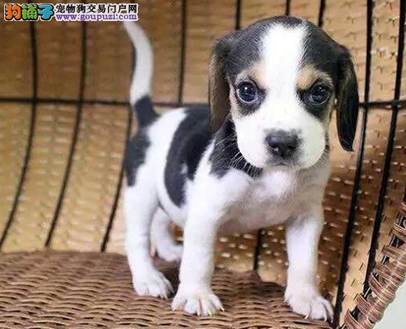 佛山哪里出售比格犬幼犬米格鲁猎比格多少钱一只