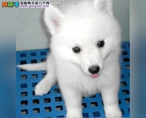 佛山哪里出售银狐犬幼犬银狐多少钱一只图片视频