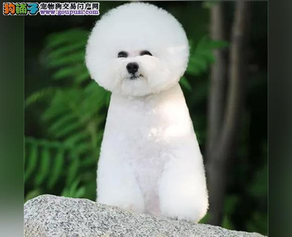 佛山出售纯种比熊犬幼犬法国比熊卷毛棉花糖宝宝卷毛