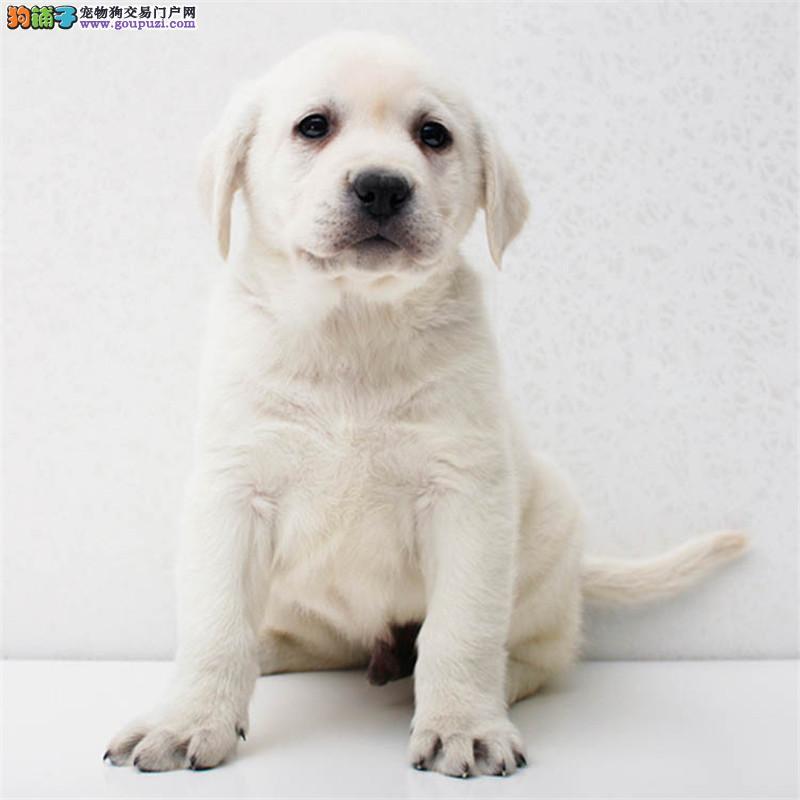 佛山哪里出售拉布拉多犬多少钱一只拉拉幼犬导盲犬