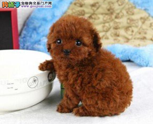 佛山出售纯种泰迪贵宾犬泰迪幼犬娃娃脸大眼睛茶杯犬