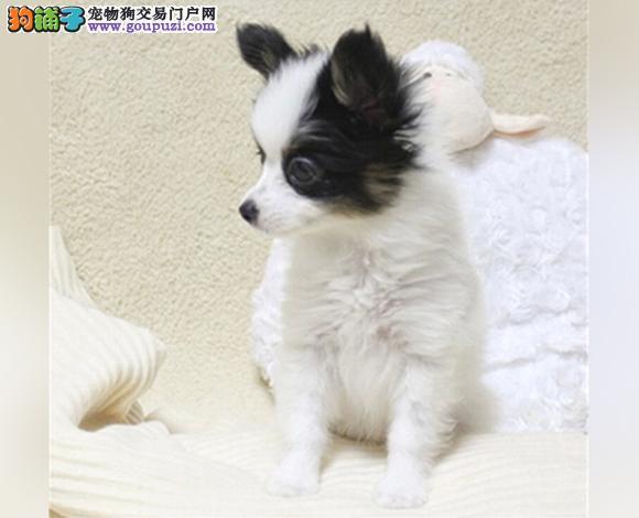 佛山哪里出售蝴蝶犬幼犬多少钱一只蝴蝶犬图片视频