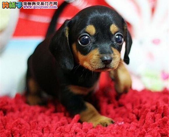 佛山哪里出售腊肠犬幼犬多少钱一只铁包金腊肠犬图片