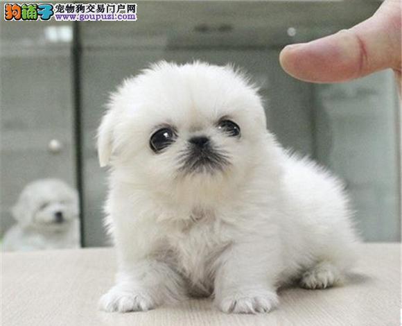 佛山出售京巴犬幼犬哈巴狗高贵北京犬迷你京巴多少钱