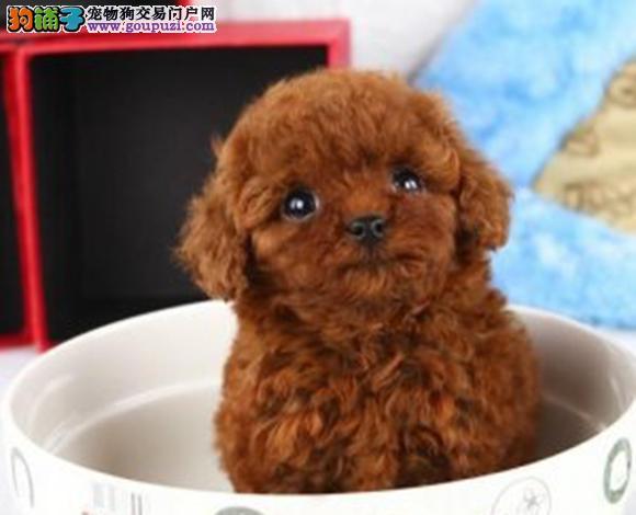 三亚出售纯种泰迪贵宾犬泰迪幼犬娃娃脸大眼睛茶杯犬