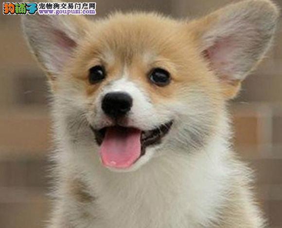 三亚出售纯种柯基犬威尔士柯基幼犬小短腿柯基三色双色