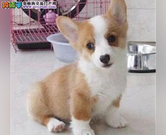 武汉出售纯种柯基犬威尔士柯基幼犬小短腿柯基三色双色