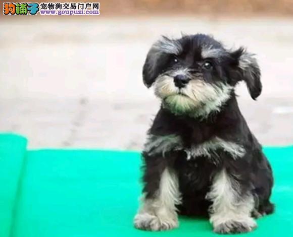 郑州出售雪纳瑞犬幼犬老头狗迷你体雪纳瑞哪里买多少钱