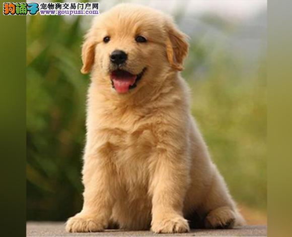 包头出售纯种金毛犬幼犬黄金猎犬巡回犬聪明温顺金毛犬