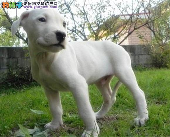 包头出售纯种杜高犬护卫犬猛犬打猎犬杜高多少钱