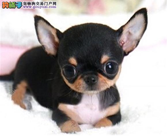 包头出售纯种吉娃娃幼犬苹果头大眼睛小体墨西哥吉娃娃