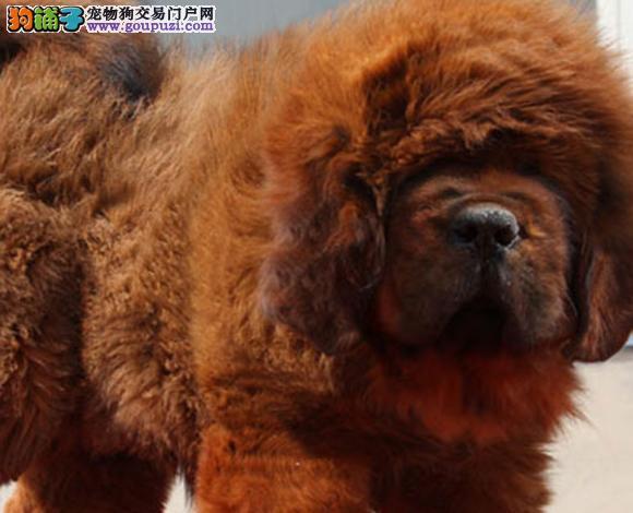 长治出售纯种虎头狮头藏獒犬猛犬幼犬看家护院包健康