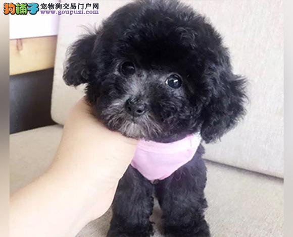 哈尔滨出售纯种泰迪贵宾犬泰迪幼犬娃娃脸大眼睛茶杯犬